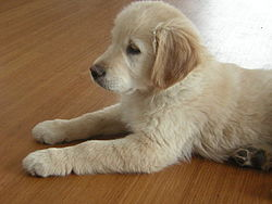 golden retriever a donner