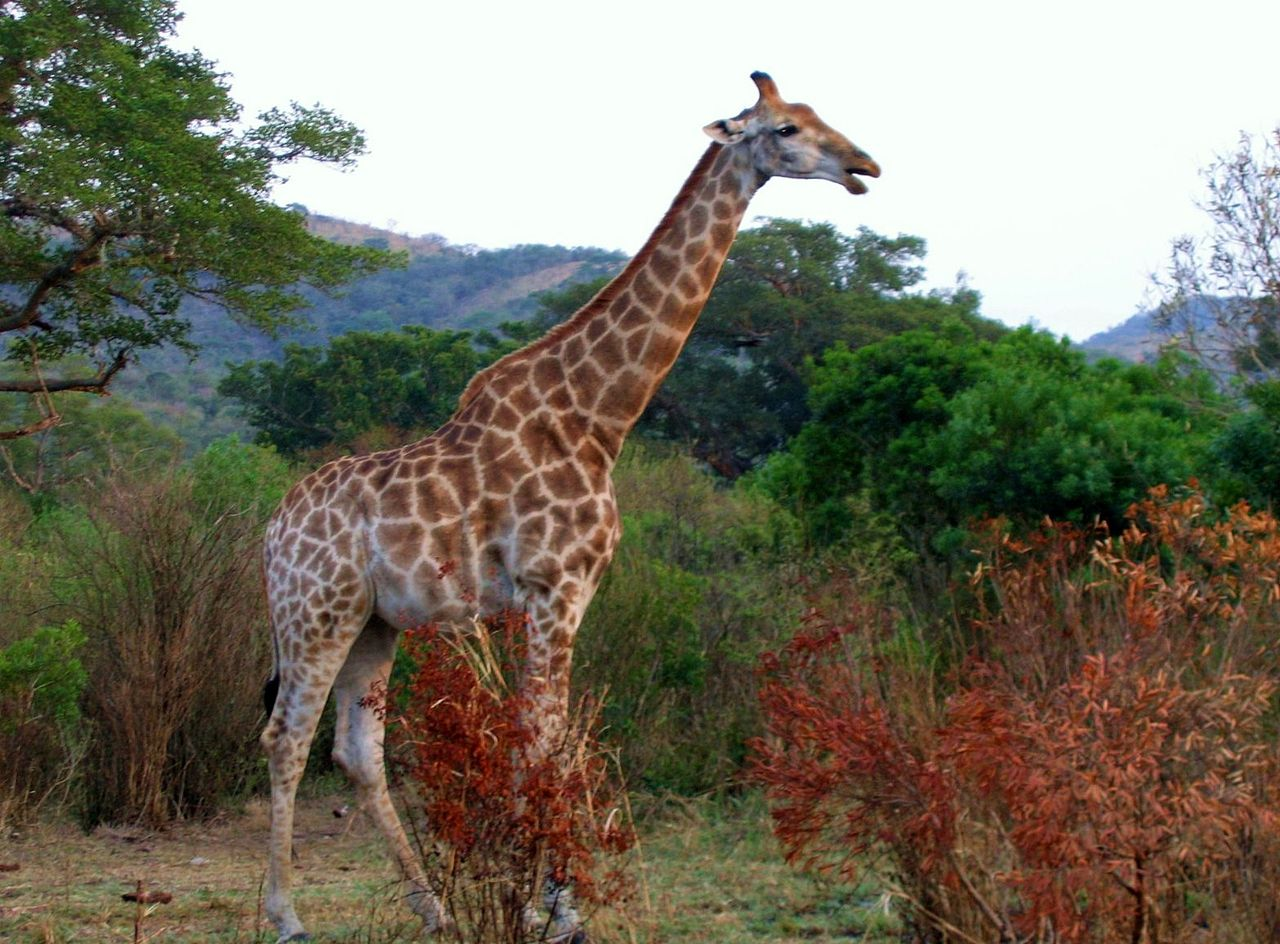 Location Girafe Photos