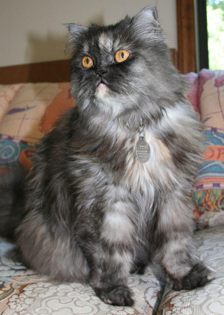 chaton chartreux a vendre