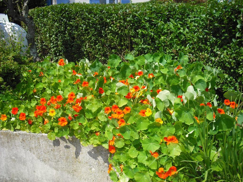 capucine plante vivace