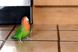 perroquet qui parle a vendre