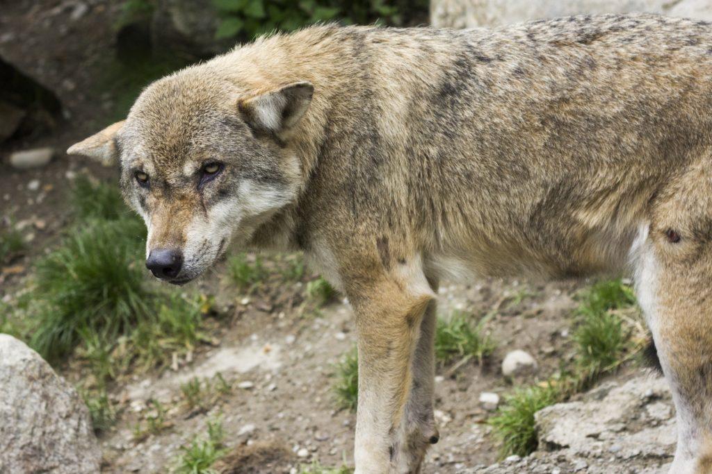 information sur le husky